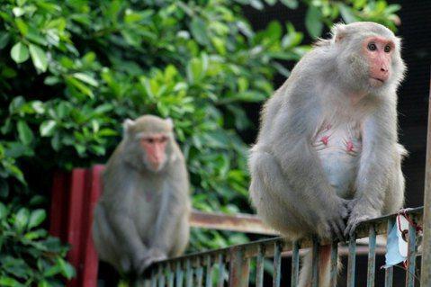 是台灣獼猴太多,還是人類侵門踏戶?談宏觀保育與微觀護生