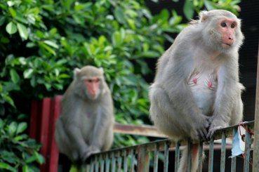 黃文伯/是台灣獼猴太多,還是人類侵門踏戶?談宏觀保育與微觀護生