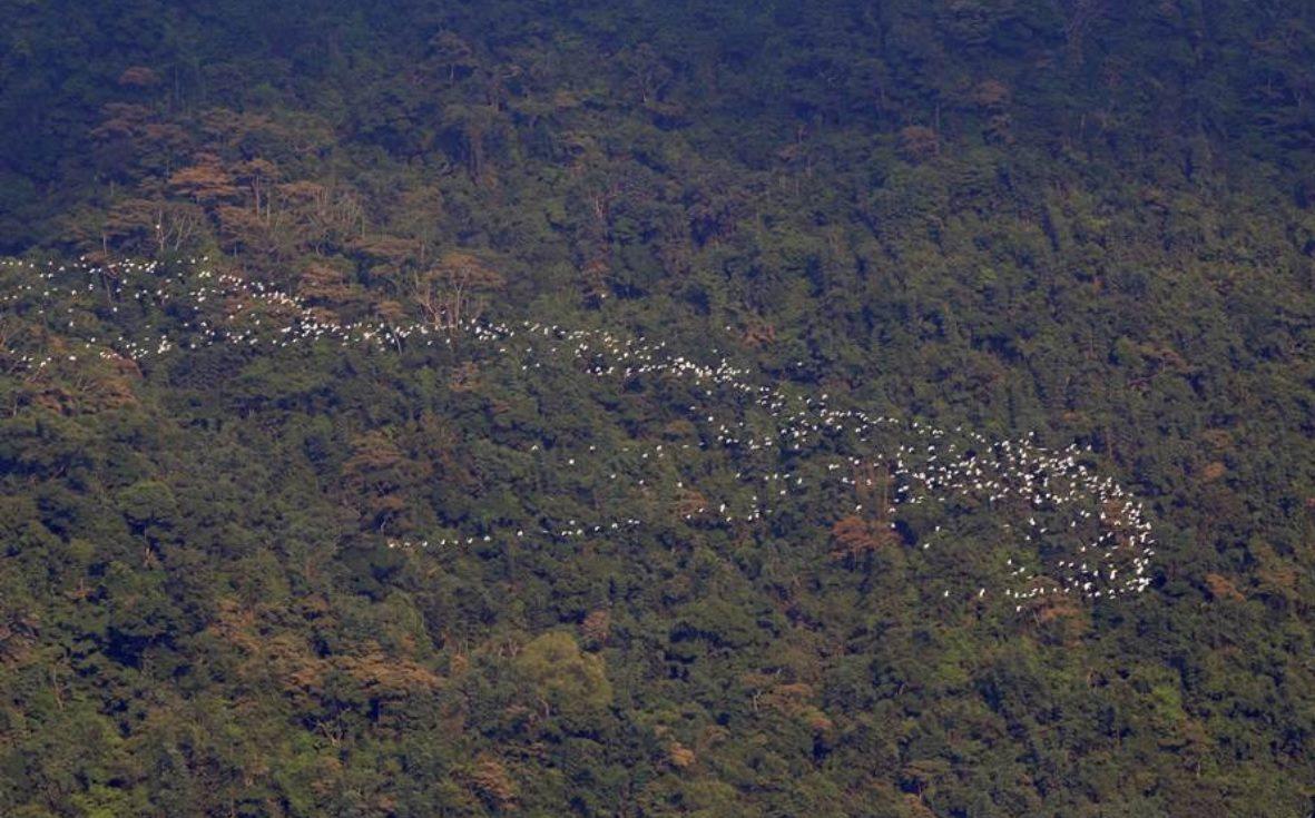 梅山鄉太興村特有的「萬鷺朝鳳」,今年9月為最佳觀賞期。圖/嘉義縣府提供