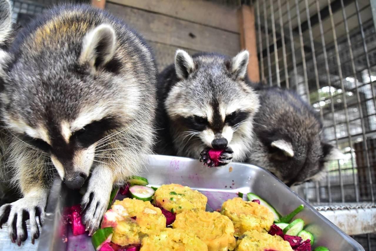 新竹市立動物園準備月餅大餐讓可愛的浣熊大飽口福,搶食模樣超萌。圖/市府提供