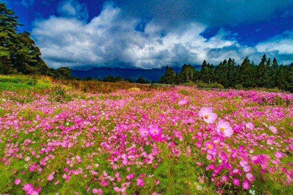 福壽山農場的波斯菊花預計在9月下旬到10月中旬為最美花期。圖/摘自福壽山農場粉絲...