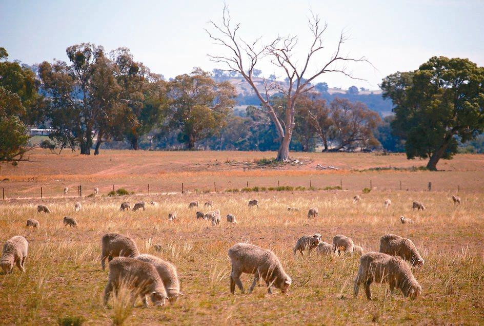 澳洲羊群數量在6月底推估已降至6,530萬隻,比去年同期減少3.7%。 路透