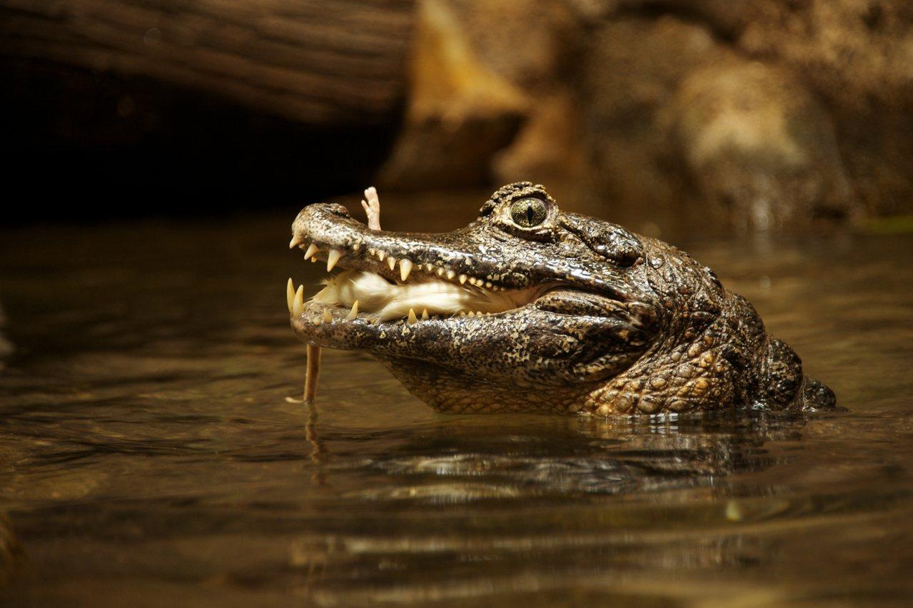 菲律賓一位15歲少年遭鱷魚攻擊,被尋獲時已成一具無頭碎屍。圖片來源/ingima...