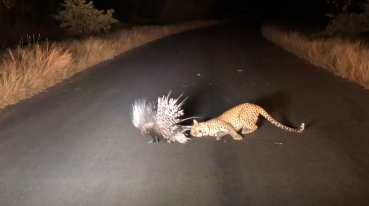 南非克魯格國家公園(Kruger National Park)日前出現搞笑一幕,...