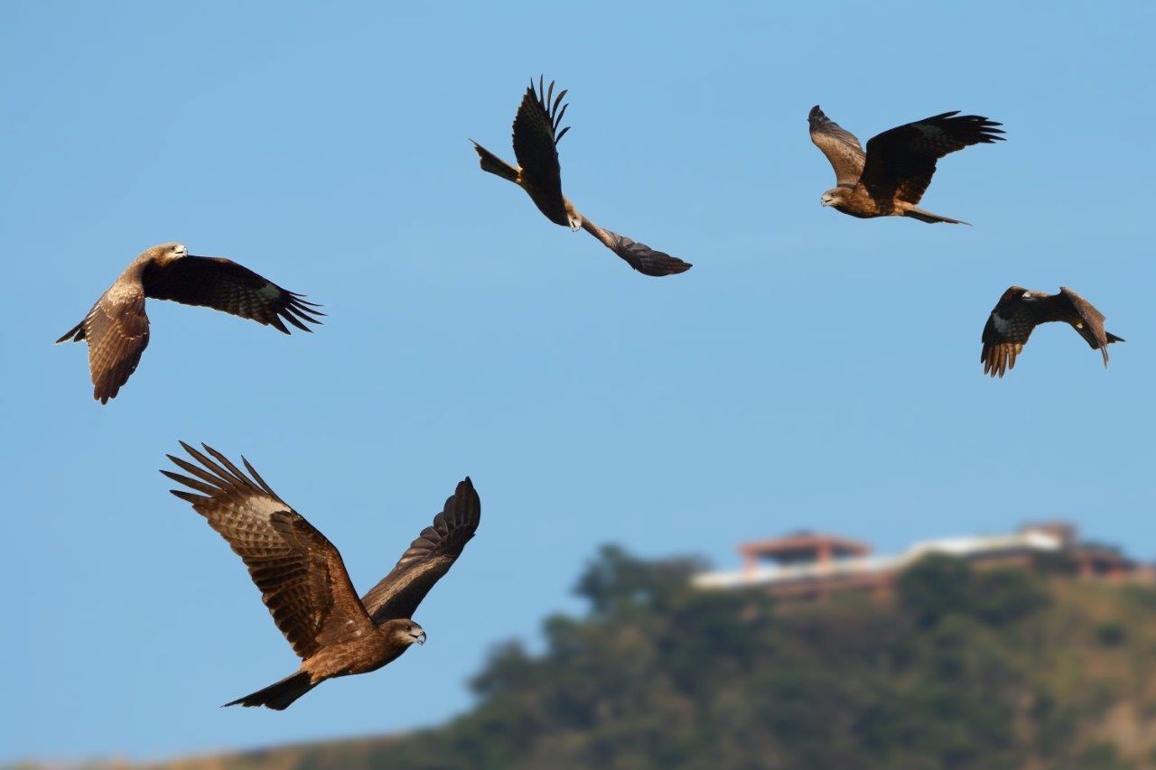 曾文水庫嘉義大埔一帶,有全台十分之一的「黑鳶」群聚,西拉雅國家風景區力推為「老應...
