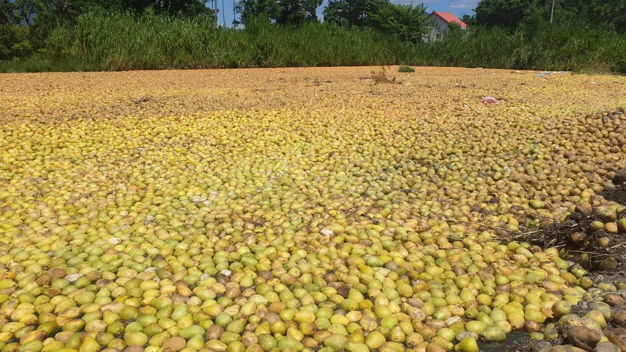 1000噸文旦柚放置在土地上,形成「文旦海」。圖/民眾提供