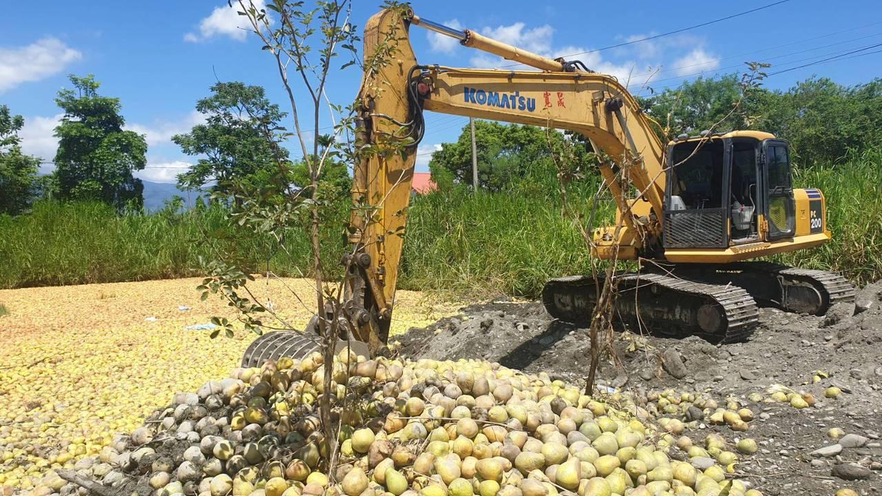 今年有1000噸文旦柚用作堆肥使用,數量多到需用挖土機作業。圖/民眾提供