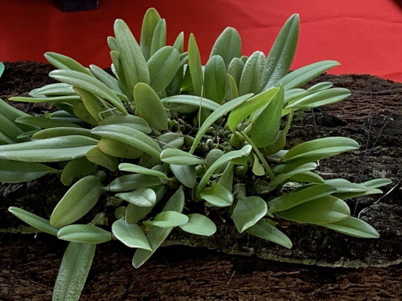 圖為台灣捲瓣蘭,中種中心今移植至縣府周邊。記者翁禎霞/攝影
