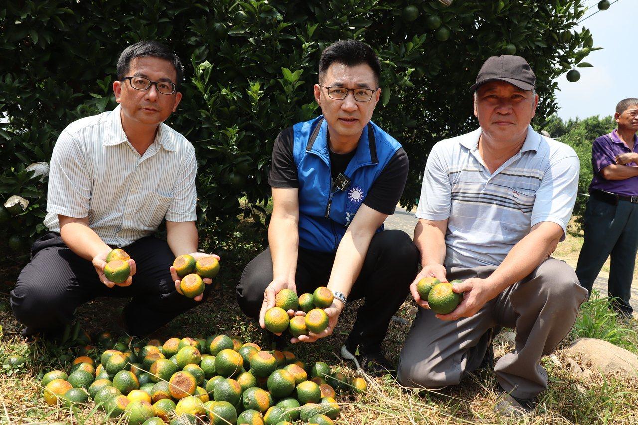 極端天氣影響,連日大雨後烈日當空,台中東勢柑橘果園出現「火燒柑」,還沒成熟的果實...