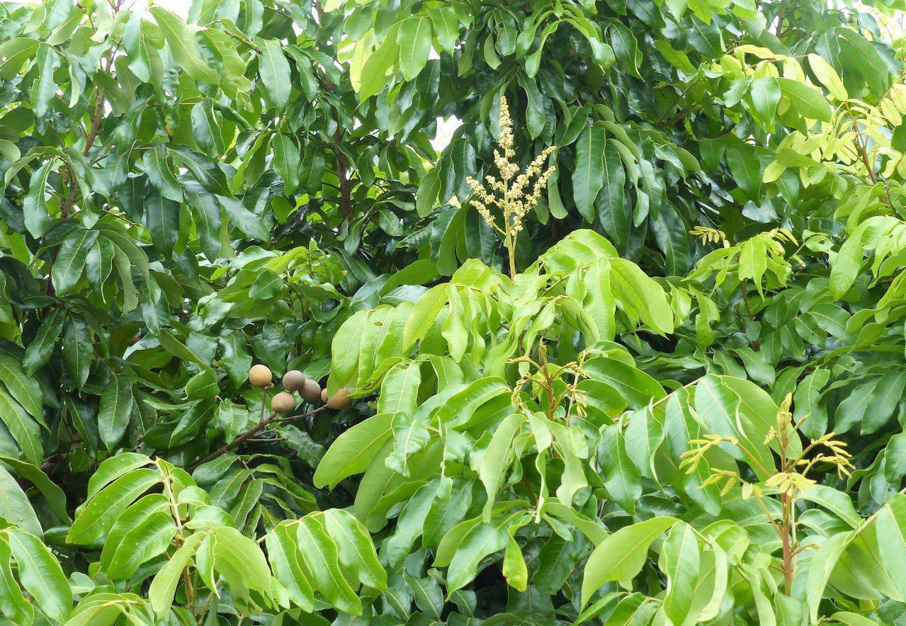 龍泉宮信徒說,第一次看到一棵樹上又有花、又有果還有嫩葉。記者凌筠婷/攝影