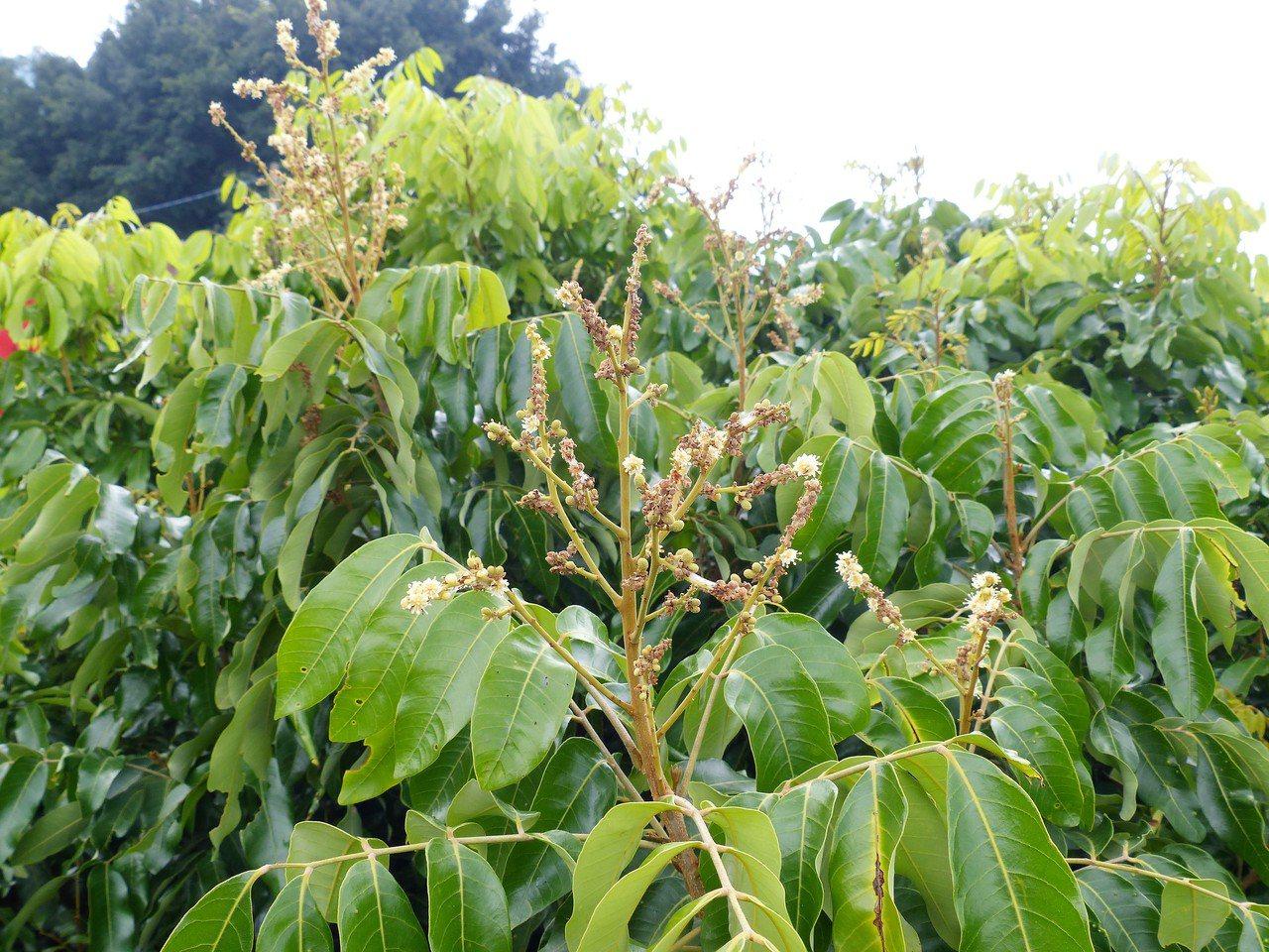 彰化社頭鄉龍泉宮前兩棵龍眼樹居然到今年9月還在開花,信眾嘖嘖稱奇。記者凌筠婷/攝...