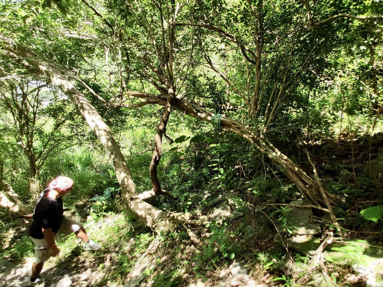 延平鄉公所編列預算進行對七里香原始林進行調查,總計共有500多棵,其中超過百歲的...