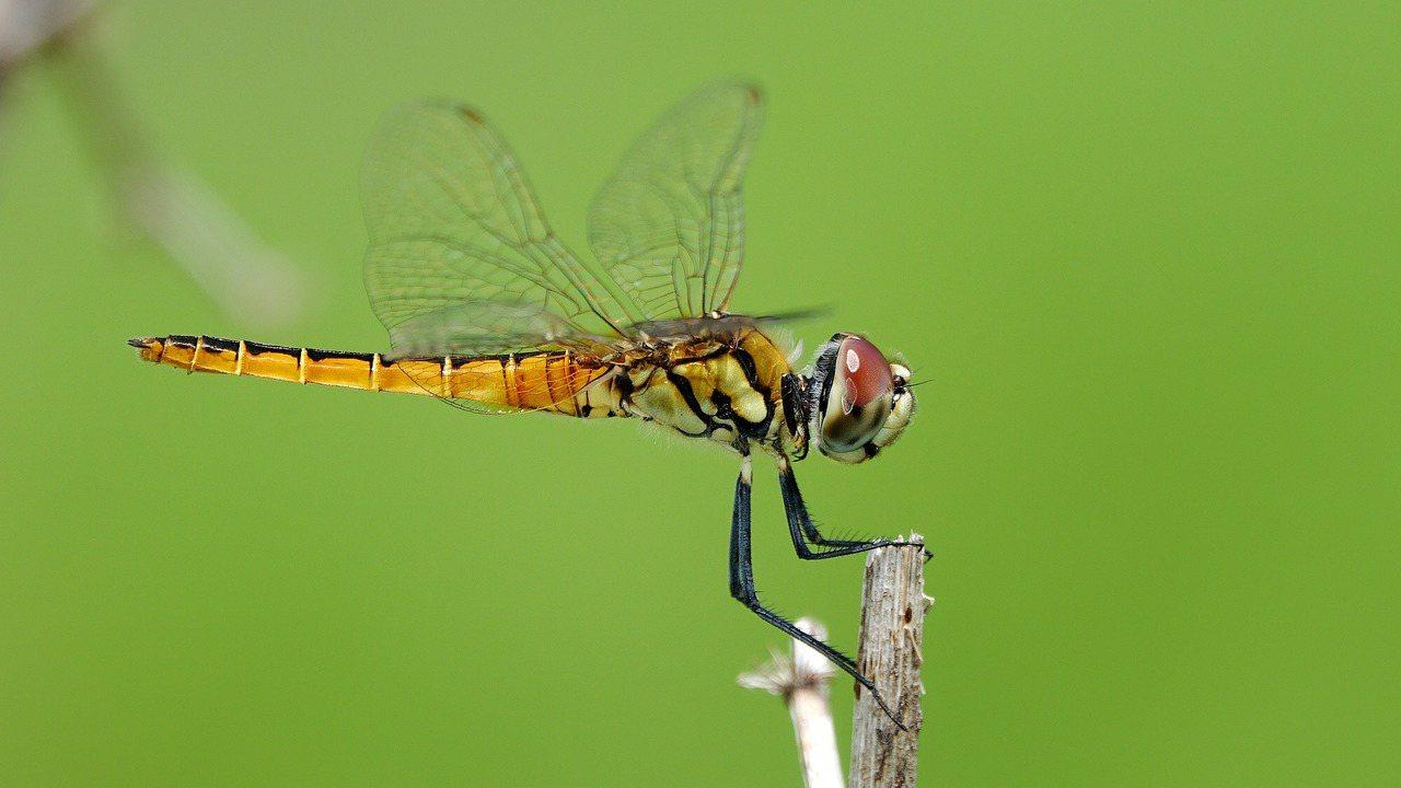 基隆市野鳥學會常務理事沈錦豐,在基隆尋覓17年的「高翔蜻蜓」,今天總算在八斗子海...