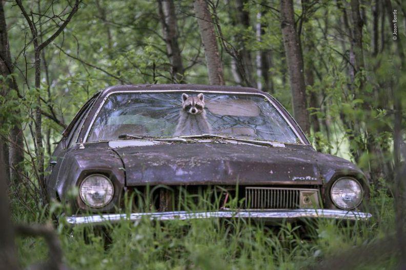 廢棄老車禁不住風雨的摧殘,如同巨大的垃圾,但在浣熊眼裡,卻是一處溫暖安全的家。圖...