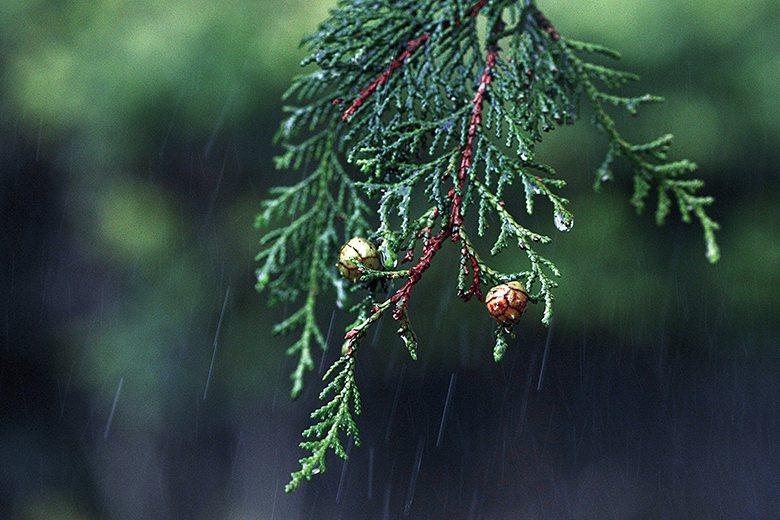 ▲扁柏的葉子與毬果。龔安妮攝影