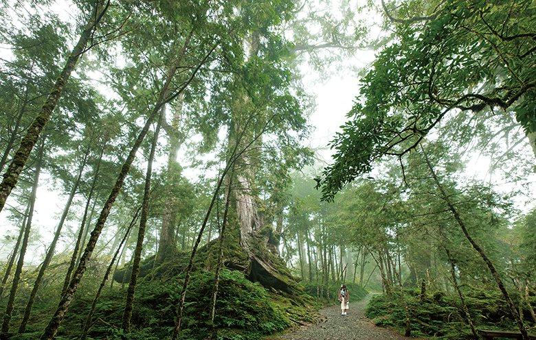 ▲400歲的台灣扁柏。龔安妮攝影