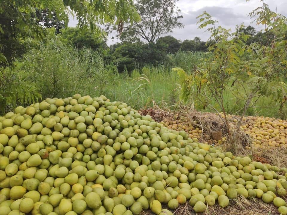 花蓮瑞穗、鳳林被發現有大量文旦棄置在農會土地上,農委會與農會說,這是要做文旦堆肥...