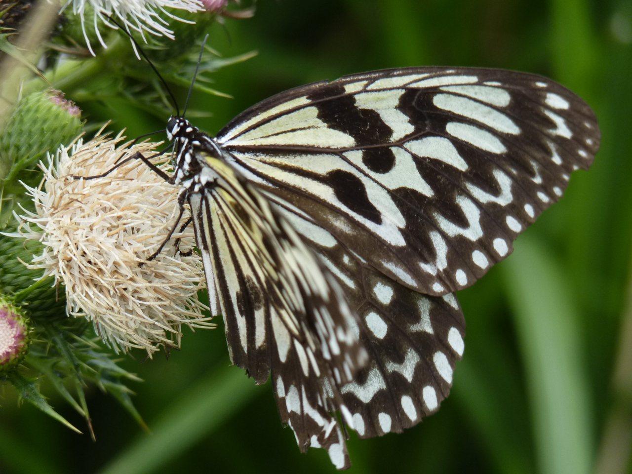 綠島過山古道可見許多綠島大白斑蝶。圖/東部海岸國家風景區管理處提供