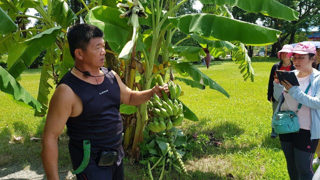 糖廠社區志工介紹香蕉特色與生長環境。記者徐白櫻/翻攝