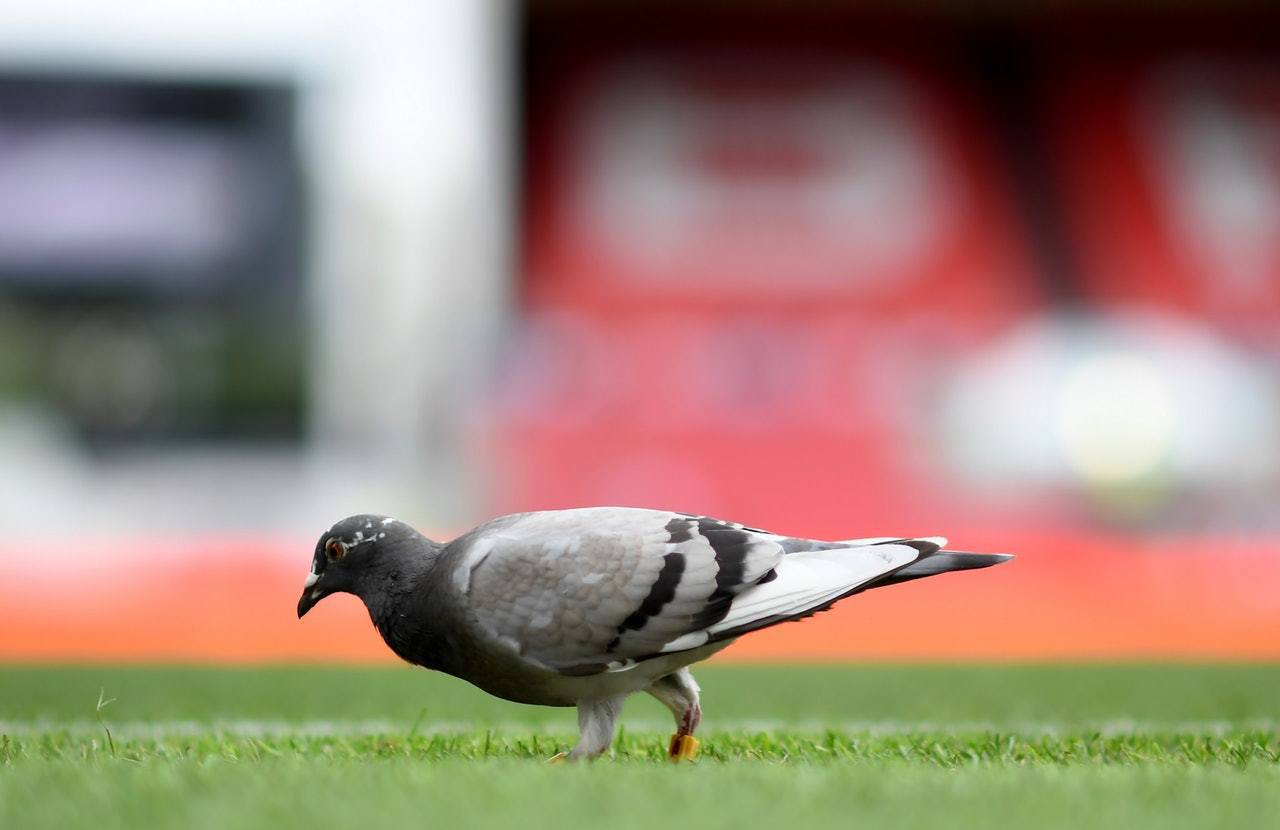 鴿子懂得由從沒到過的地方飛由原居地,因此美國中情局就看中了這種驚人能力,訓練牠們...