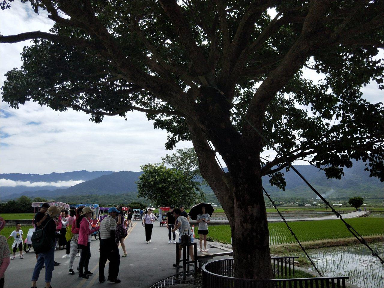 因名人拍廣告紅起來,學者認為是台東池上金城武樹就是很典型的例子。記者游明煌/攝影