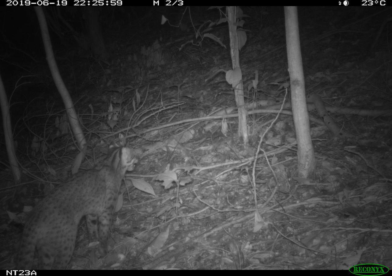 南投林管處最近在九九峰拍下石虎重新活動的影像。圖/南投林管處提供