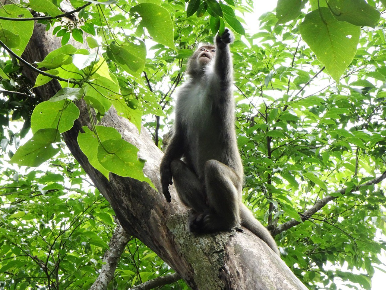 太平山國家森林遊樂區的道路、太平山莊廣場及中央階梯都可以看到台灣獼猴。林務局羅東...