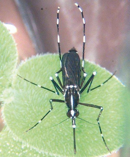 白線斑蚊是傳播登革熱的病媒蚊。 圖/疾管署提供