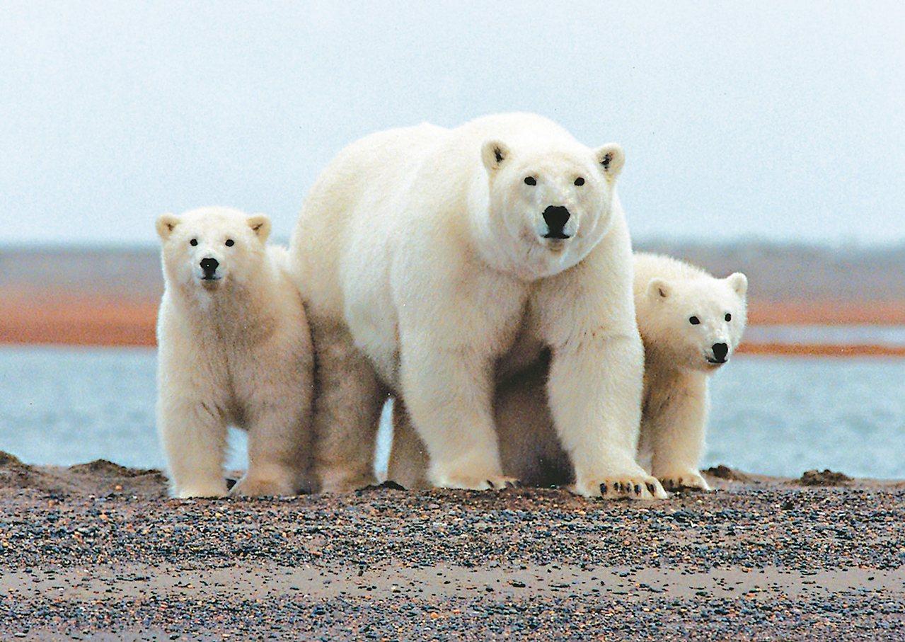 阿拉斯加州「北極國家野生動物保護區」海岸平原的北極熊。 路透