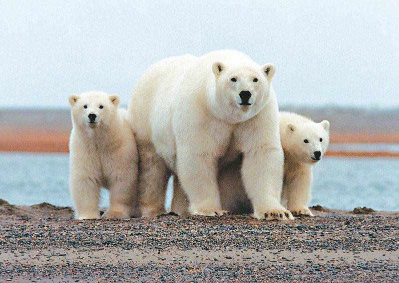 56頭北極熊因無法在冰上活動而聚集在偏遠村莊外圍。圖為示意圖,非本文當事熊及地點。 路透