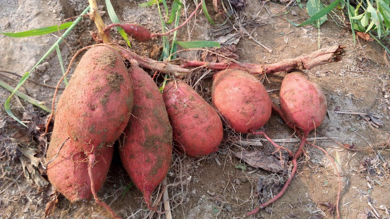 挖出的新鮮地瓜。圖/新北市農業局提供
