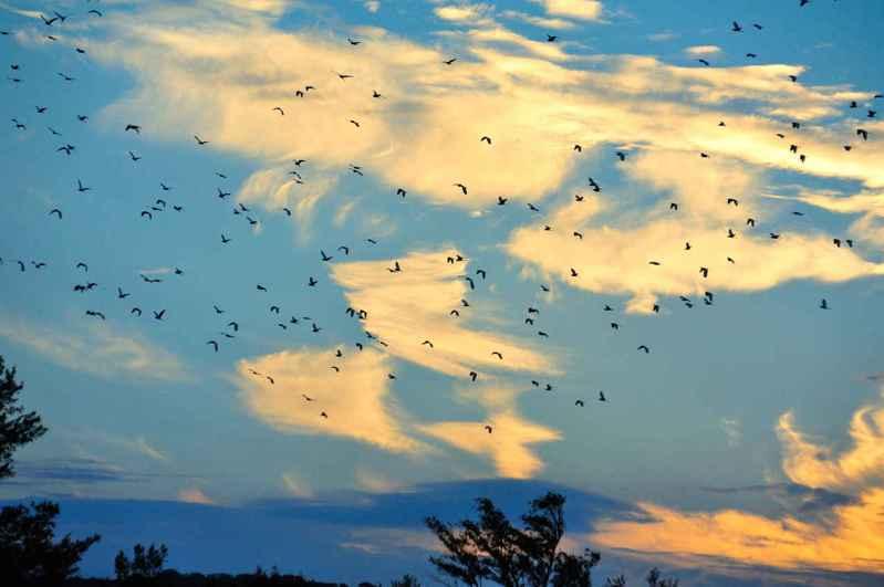 屏東恆春鎮龍鑾潭水岸及周邊濕地,最近常可見到難以計數的鷺鷥棲息和群鳥飛起遮天蔽日的畫面,每到傍晚成群飛越天空彩霞。圖/墾管處提供