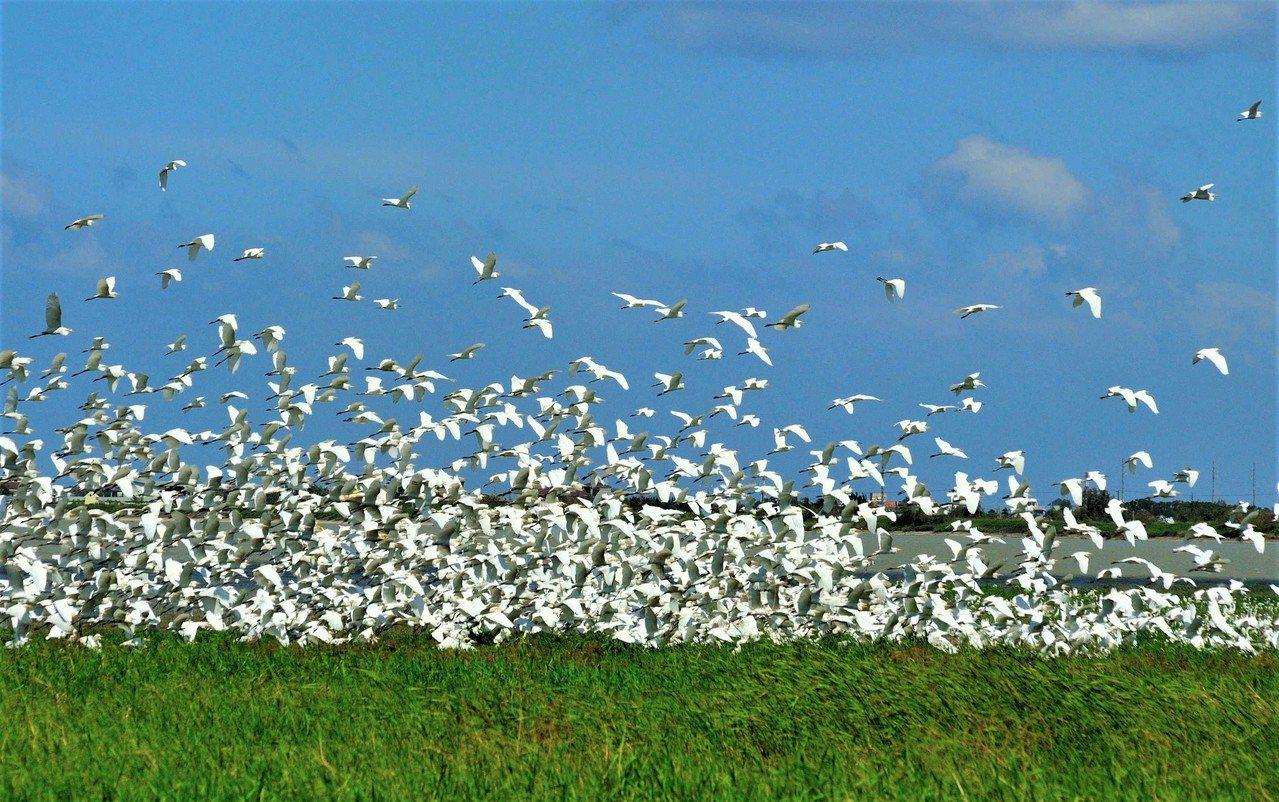 屏東恆春鎮龍鑾潭水岸及周邊濕地,最近常可見到難以計數的鷺鷥棲息和群鳥飛起遮天蔽日...