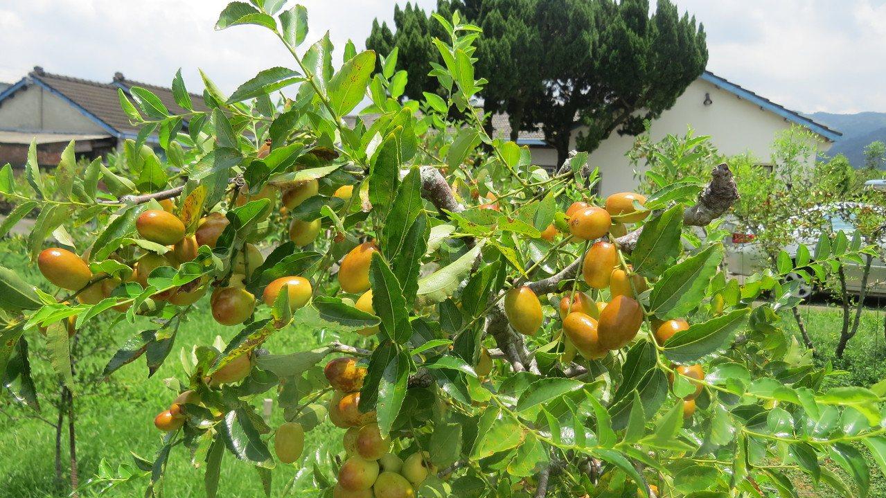 苗栗縣公館鄉紅棗種植全台面積最大,產季時是特有重要地景。圖/本報資料照片