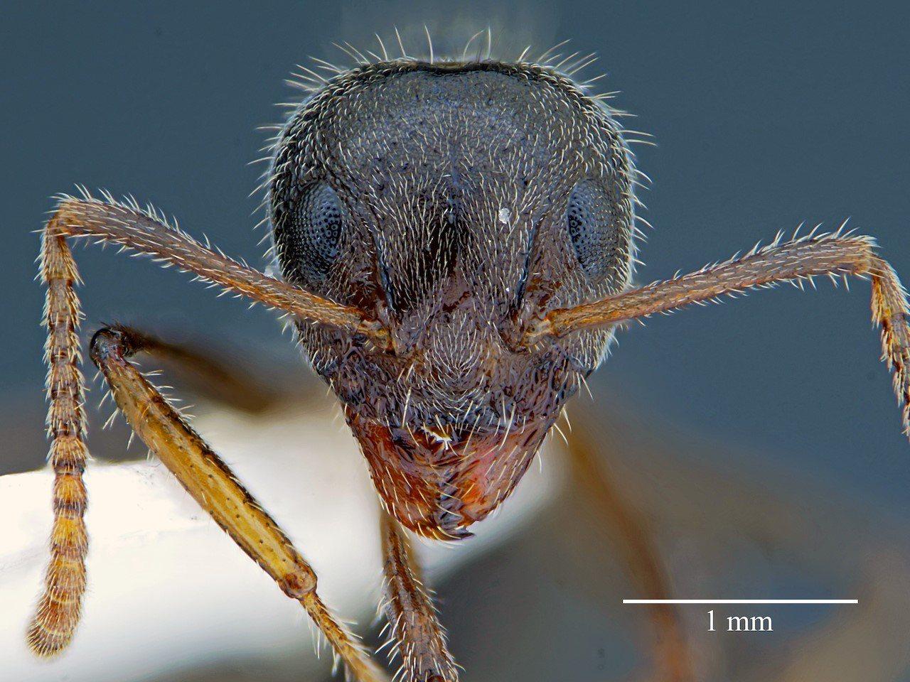 疣胸琉璃蟻標本照。圖/台大博士生許峰銓提供
