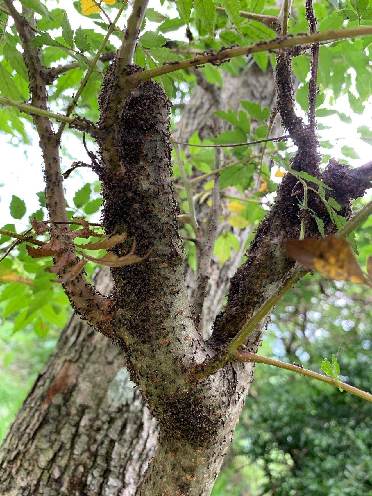 疣胸琉璃蟻近期大量出沒。圖/台大博士生許峰銓提供