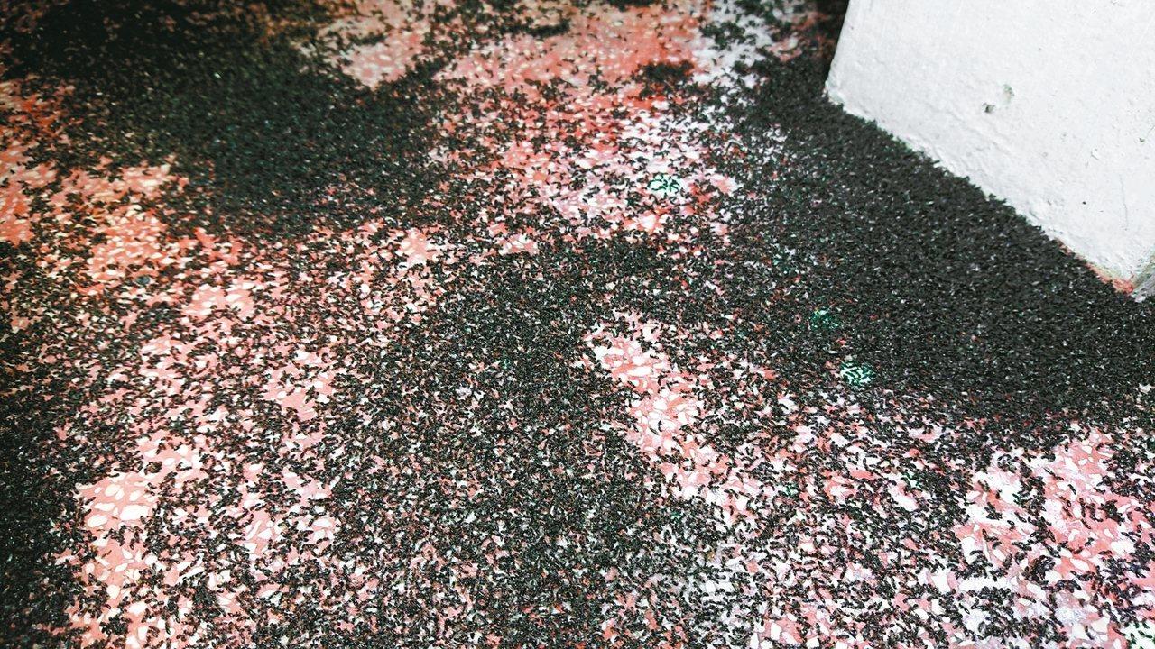 「琉璃蟻」近期大舉肆虐中南部,造成民眾生活極大困擾。 圖/讀者徐紹唐提供