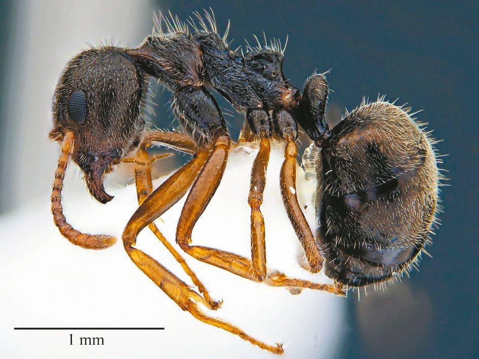 疣胸琉璃蟻標本照。 圖/台大博士生許峰銓提供