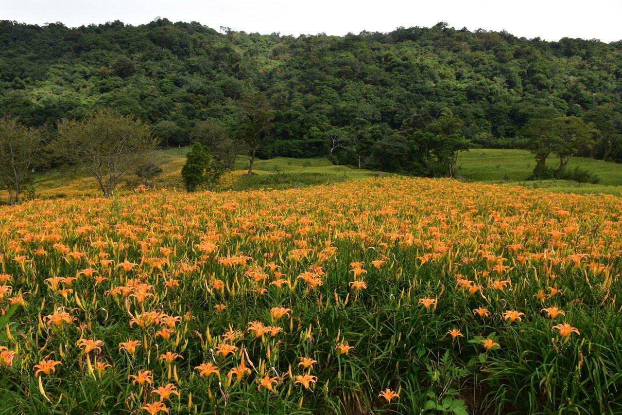 花蓮玉里赤科山金針花幾乎全盛開,吸引遊客上山賞花。 記者王思慧/攝影