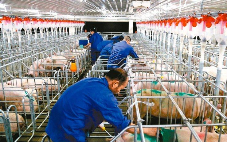 受非洲豬瘟衝擊,大陸豬肉批發價格連續14周上漲。圖為廣西橫縣的養豬場。(中新社資...