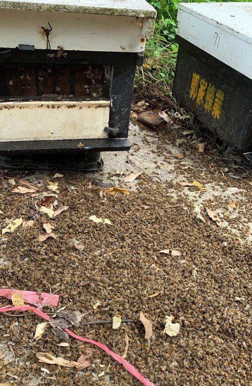 嘉義縣梅山鄉15日發生蜜蜂死亡事件,蜂農懷疑是遭人毒殺並指出,一個蜂箱約有1萬多隻蜜蜂,估計有500多萬隻蜜蜂遭毒害,幾乎蜜蜂都被滅掉,損失慘重。(警方提供) 中央社
