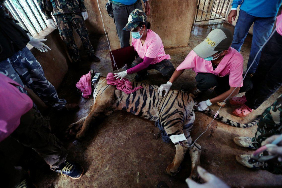 2016年,泰國臭名遠播的「老虎廟」,有147隻疑遭受虐的老虎被救出安置。但因為...