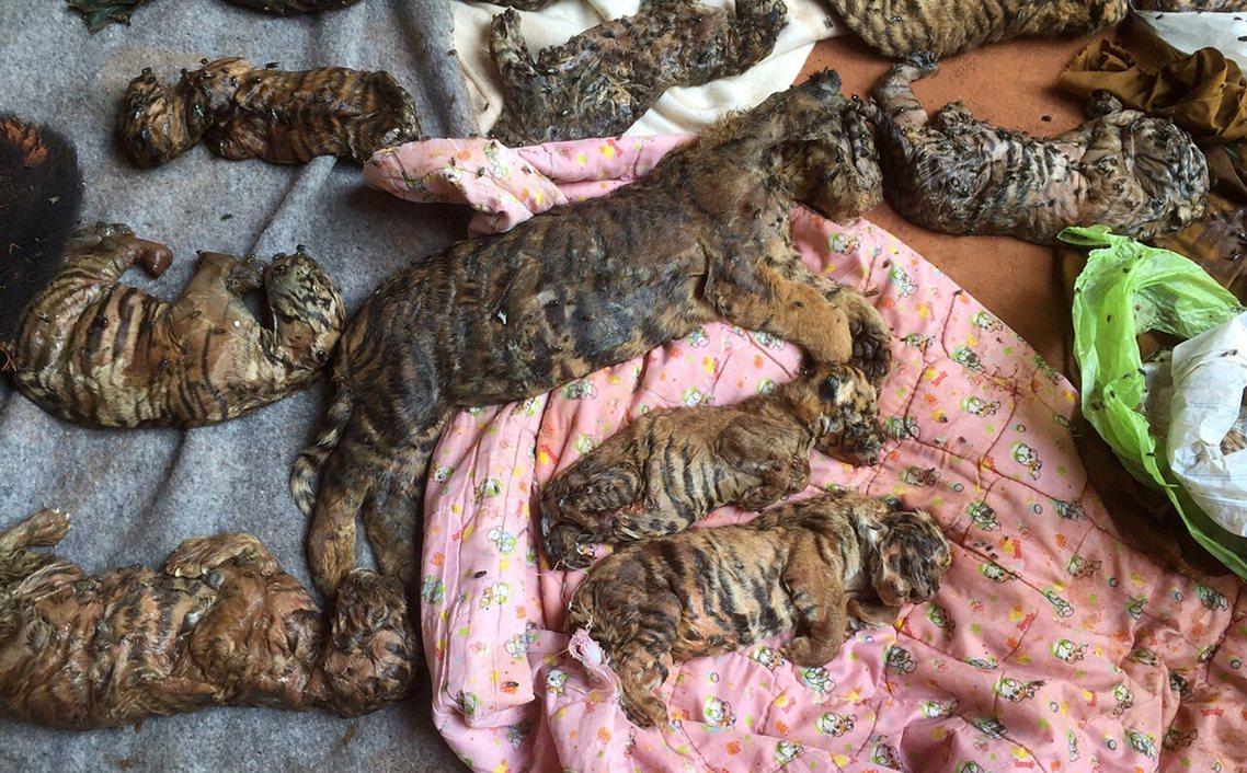 除了非法豢養、繁衍老虎,老虎廟當時更被查獲藏有40隻被冷凍保存的幼虎屍體。 圖/...