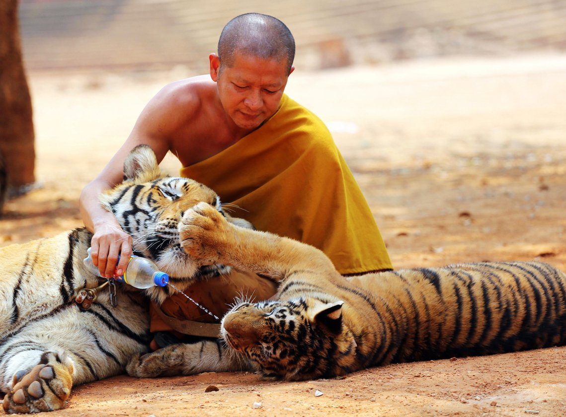 根據《泰國公共電視台》(Thai PBS)掌握的內部消息,老虎廟救出的147隻老...