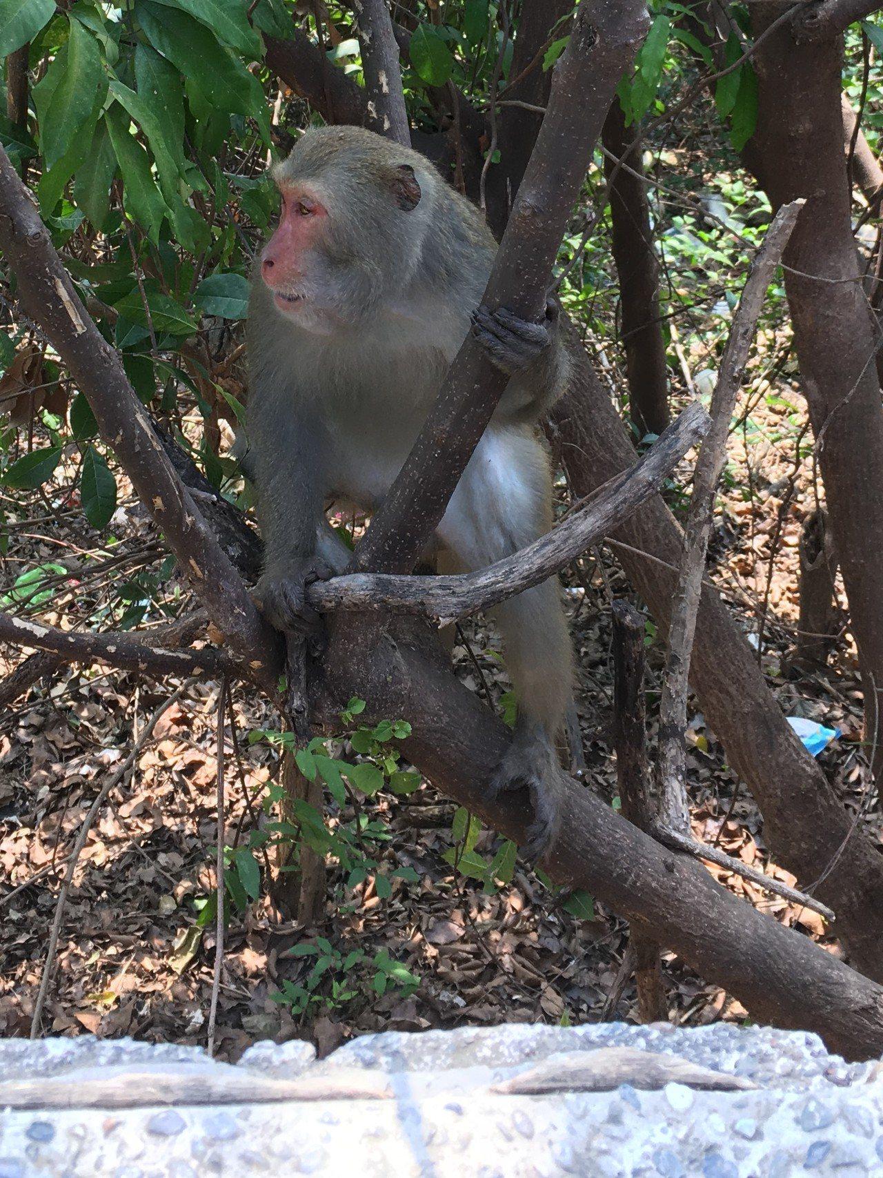 台中市太平的黃竹坑山區台灣獼猴出沒頻繁,嚴重影響農作,市議員李麗華上午邀農業局長...