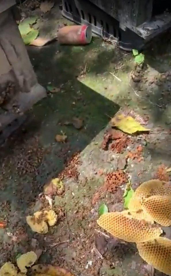 蜜蜂中毒後大量死亡在蜂箱旁。記者卜敏正/翻攝
