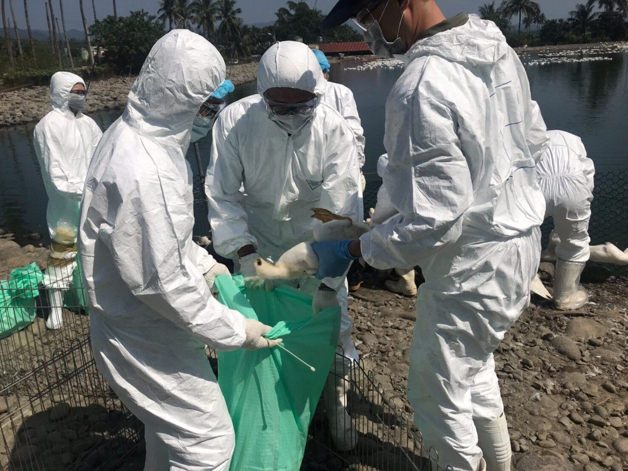 國內首度在高雄旗山檢出H5N5禽流感病毒案例,該場3583隻鴨隻已於12日全數撲...