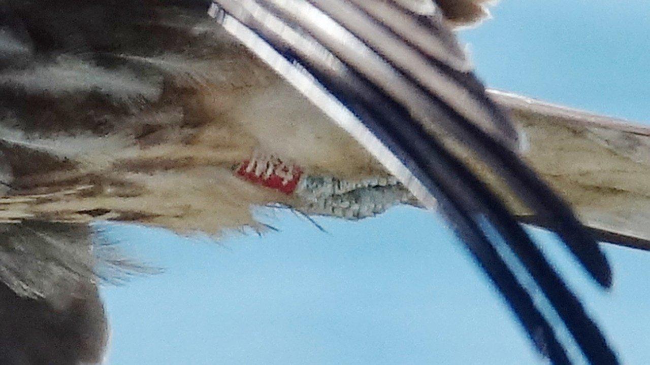 基隆市野鳥學會常務理事沈錦豐,日前在海大附近調查黑鳶,拍到繫放成功的「霜淇淋」,...