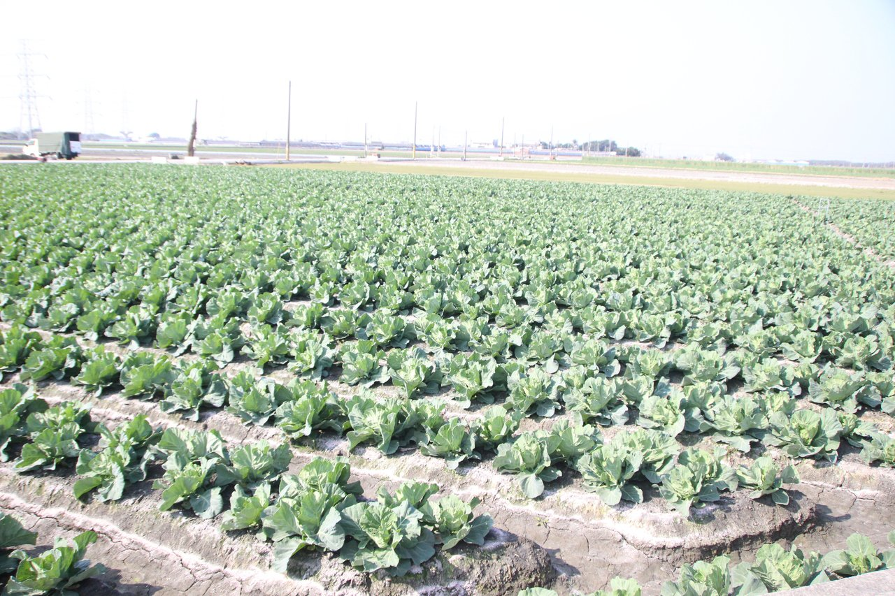 農委會啟動高麗菜登記種植機制,希望平衡產銷。 記者林敬家/攝影