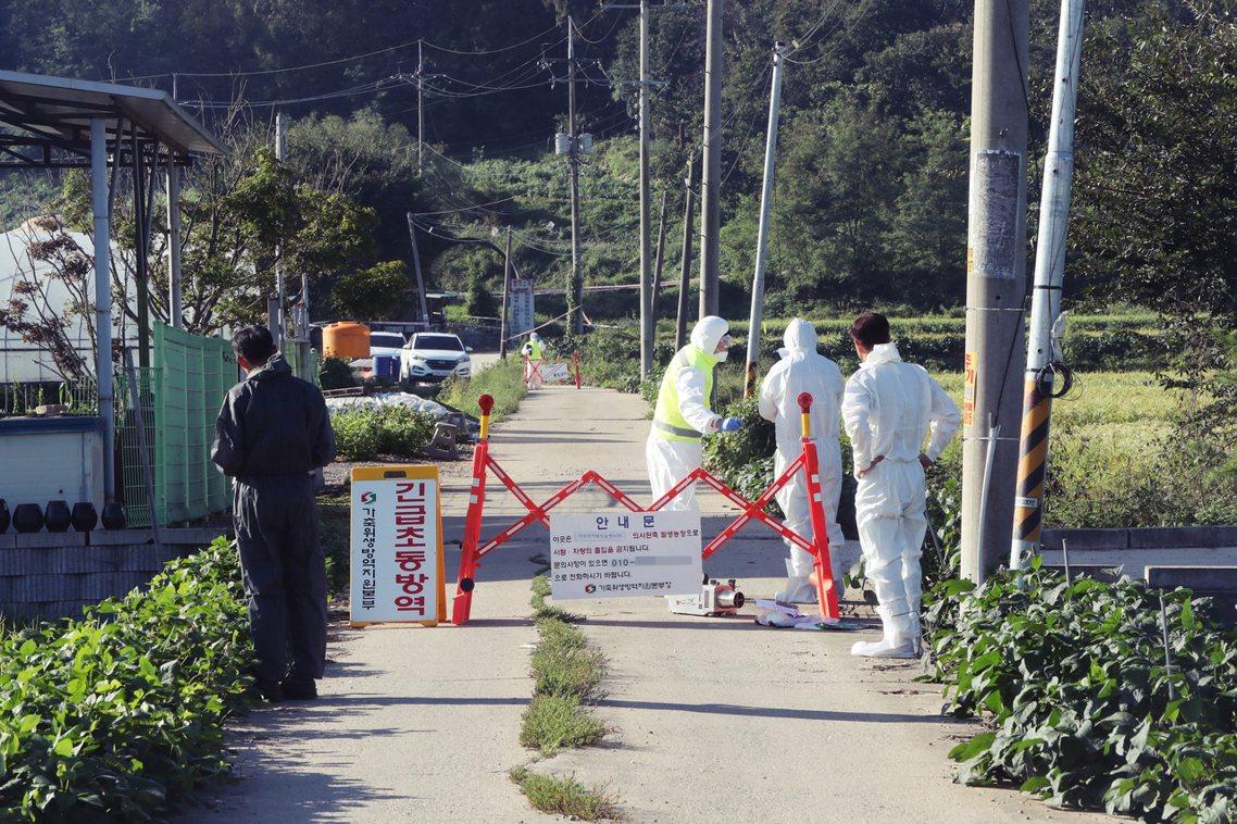 目前南韓當局已派出檢疫部隊,除了事發地點外、也連帶封鎖事主親戚在附近開設的兩間豬...